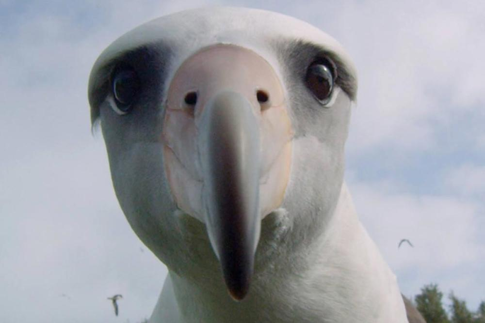 Albatros.jpg.1ac03338b93f5f419235bbb1052f3904.jpg